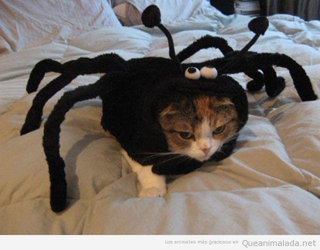 Gato disfrazado de araña
