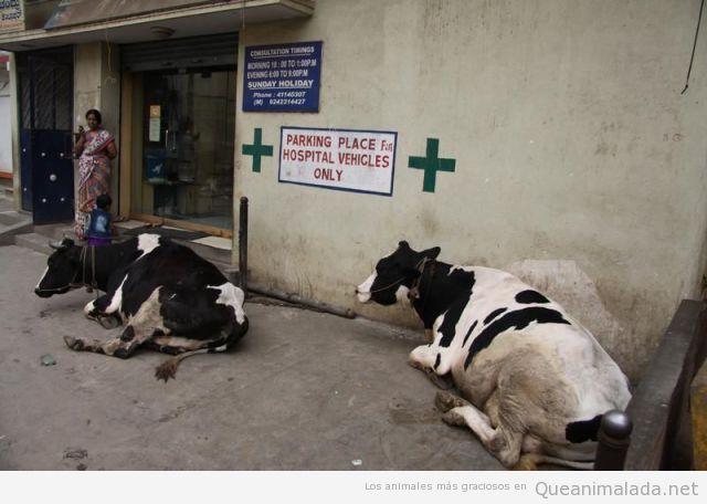 Fotos curiosas de vacas aparcadas en el sitio de las ambulancias en India