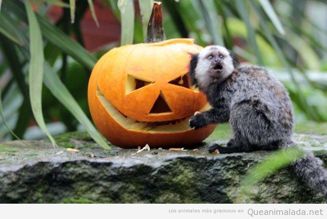 Mono en Halloween asustado por una calabaza