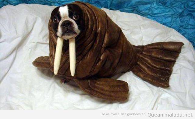 Disfraz original y divertido de morsa para un perro, bulldog francés
