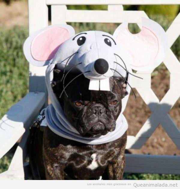 Foto graciosa de un bulldog francés disfrazado de ratón