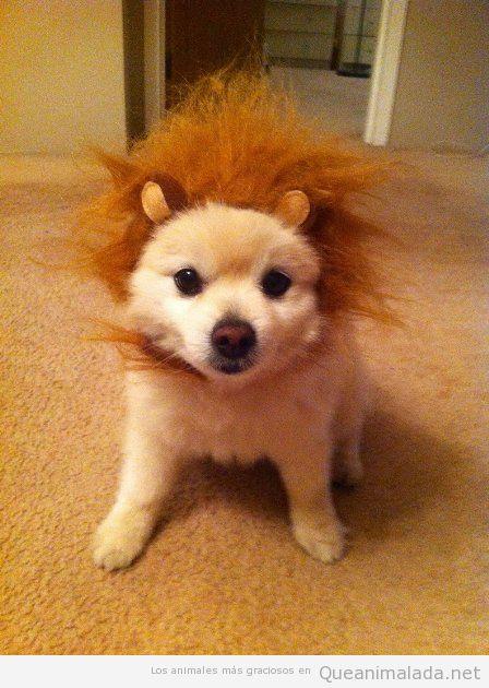 Foto divertida de un perrito con peluca de león