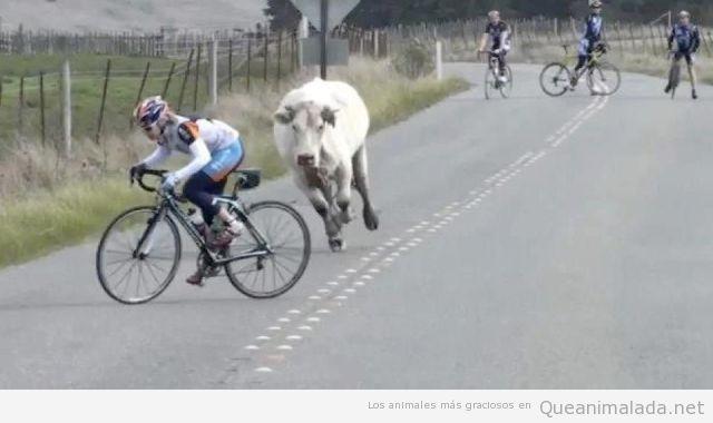 Foto graciosa de una vaca corriendo detrás de un ciclista