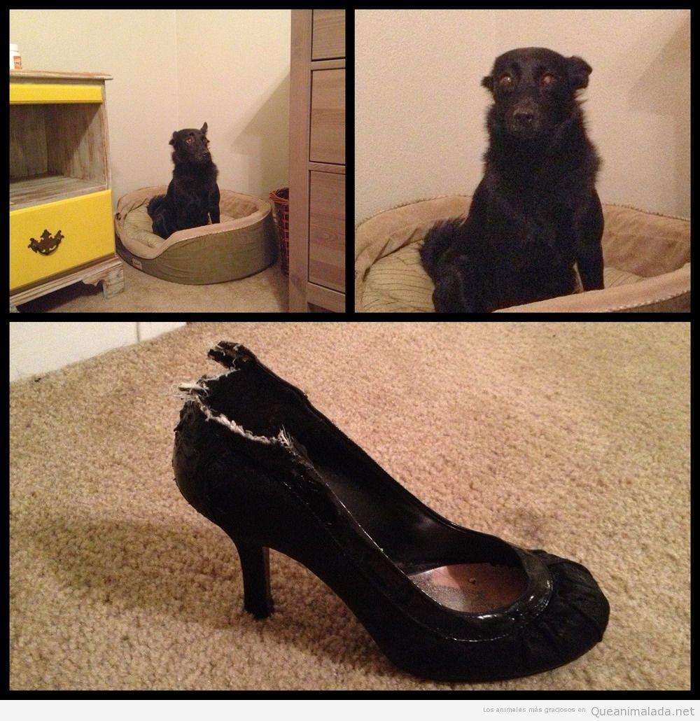 Foto graciosa de un perro que ha mordido unos zapatos