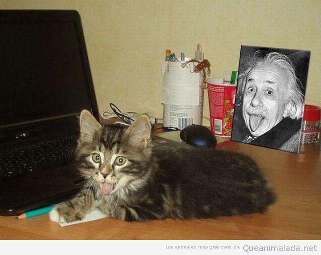 Foto graciosa de gato sacando lengua con foto de Einstein