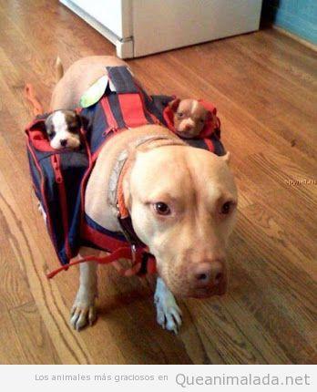 Imagen de una perra llevando a sus cachorros en dos mochilas