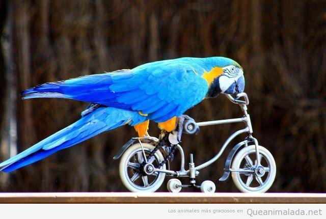 Loro gracioso en bicicleta