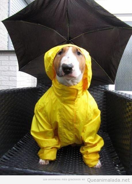 Imagen graciosa de un perro preparado para la lluvia con chubasquero y paraguas