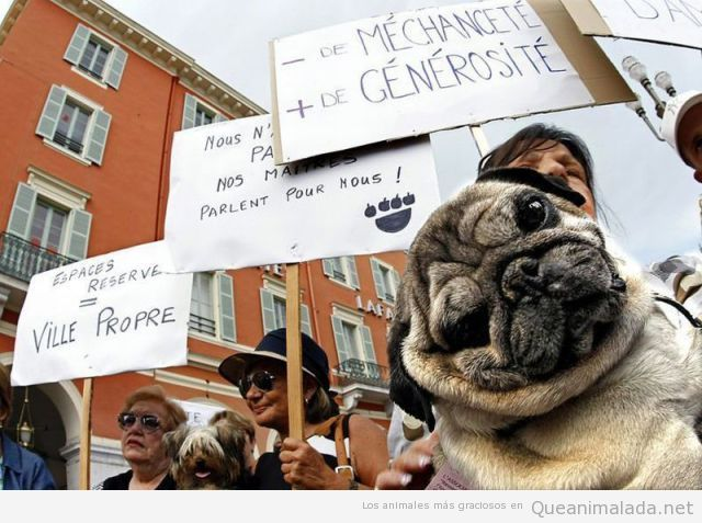 Foto graciosa de un carlino en una manifestación