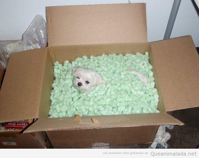 Foto graciosa de cachorro de perro enterrado en una caja con porexpan