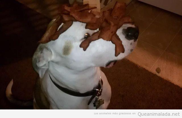 Foto graciosa de un perro con bacon en la cara