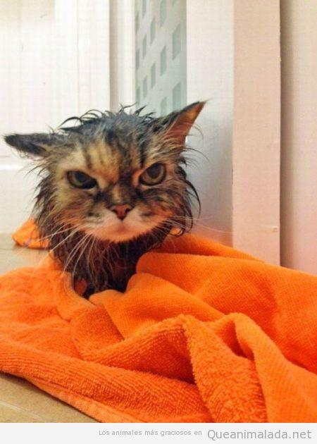 Foto graciosa de gato mojado con cara de mala hostia