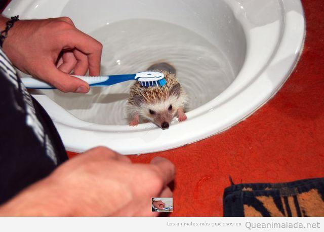 Erizo bebé en la ducha, lavándose con cepillo de dientes