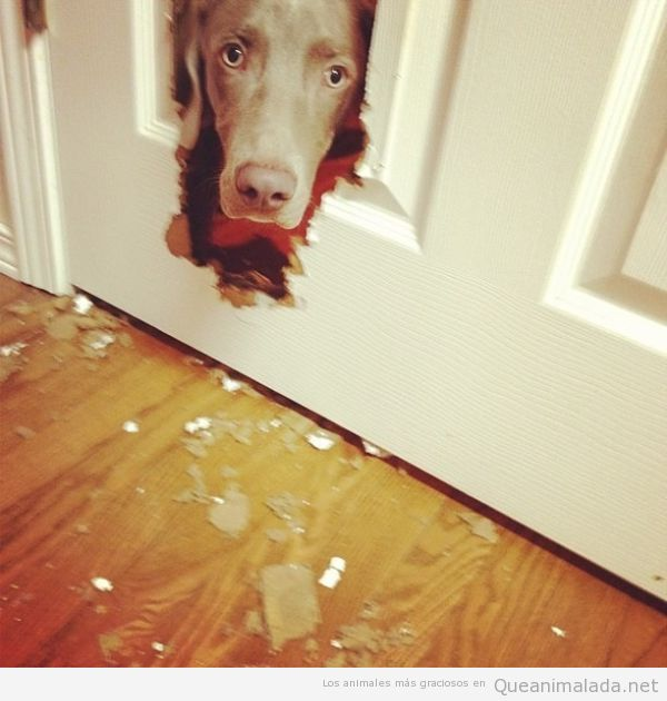 Perro metiendo la cabeza por una puerta rota, como en el Resplandor