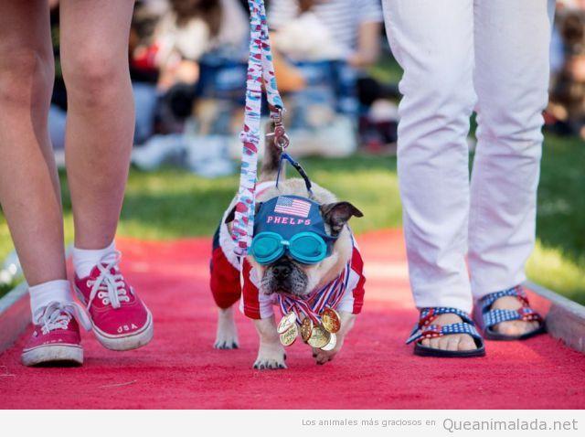 Foto graciosa de un perro disfrazado de Michael Phelps con medallas
