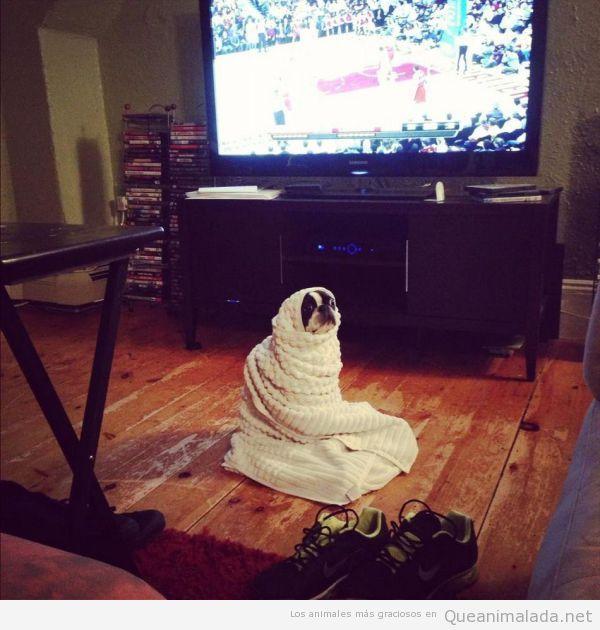 Foto graciosa de un perro enrollado en una manta viendo la tele