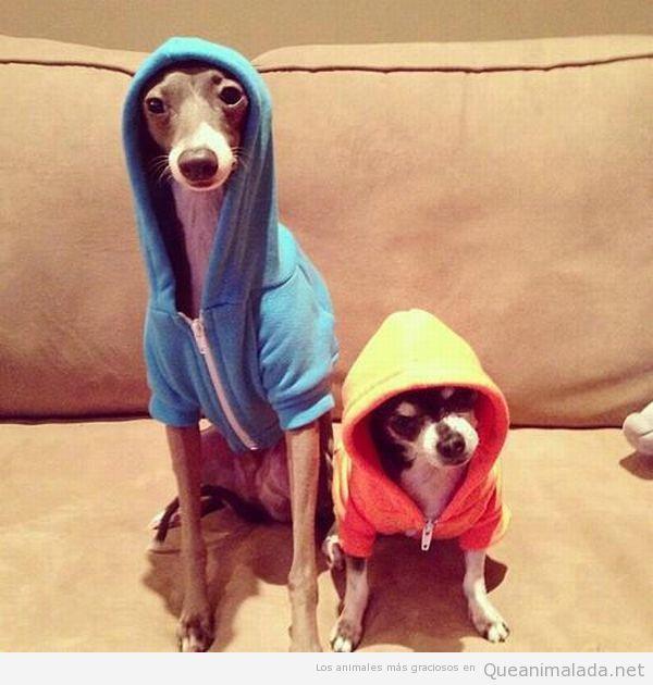 Fotos graciosas de dos perros con sudadera y capuchas