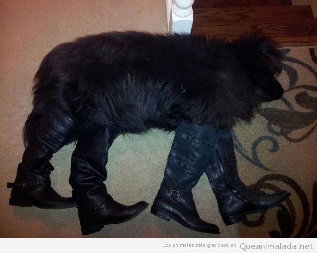 Foto graciosa de un perro con botas mientras duerme