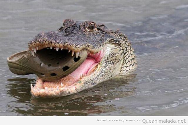 Cocodrilo con los crocs de Frank de la Jungla en la boca