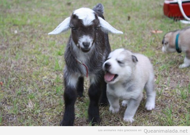 Imagen bonita y tierna de una cría de cabra y un cachorro de perro