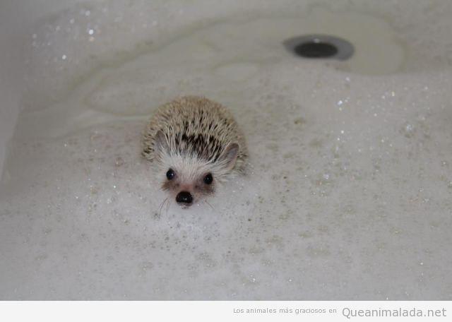 Foto bonita y tierna de erizo bebé dandose un baño