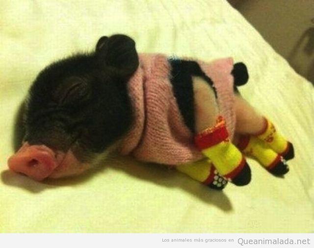 Foto tierna y bonita de un cerdo bebé con traje de lana