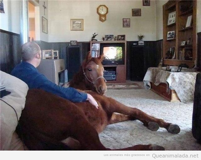 Imagen graciosa de un caballo dentro de casa viendo la tele