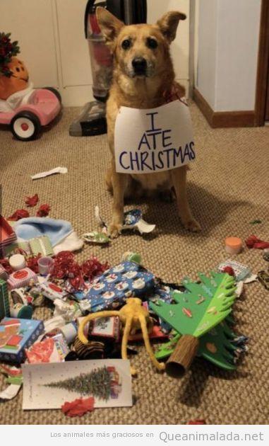 Imagen graciosa de un perro que ha destrozado los regalos de Navidad