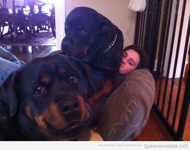 Imagen chistosa de dos rottweiler encima de su dueño en el sofá