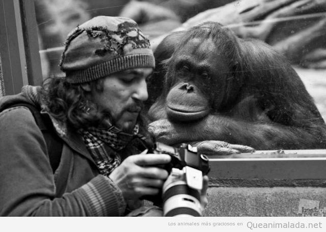 Imagen divertida de un orangután mirando  la cámara digital de un fotógrafo
