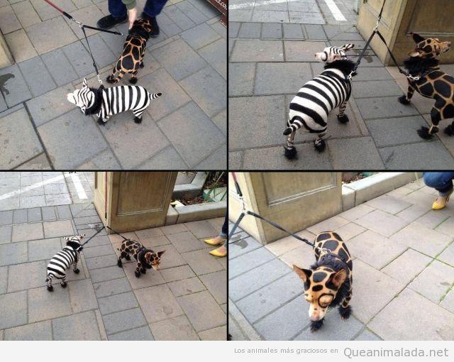 Foto graciosa de perros vestidos de cebra y jirafa