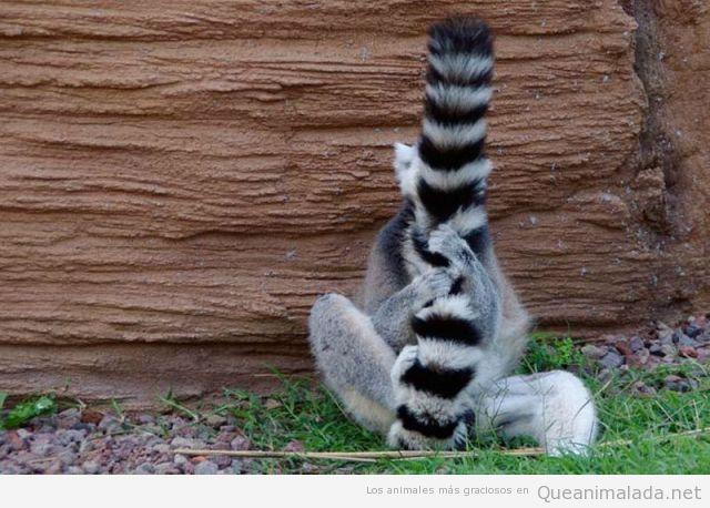 Foto graciosa de un mapache escondido detrás de su cola