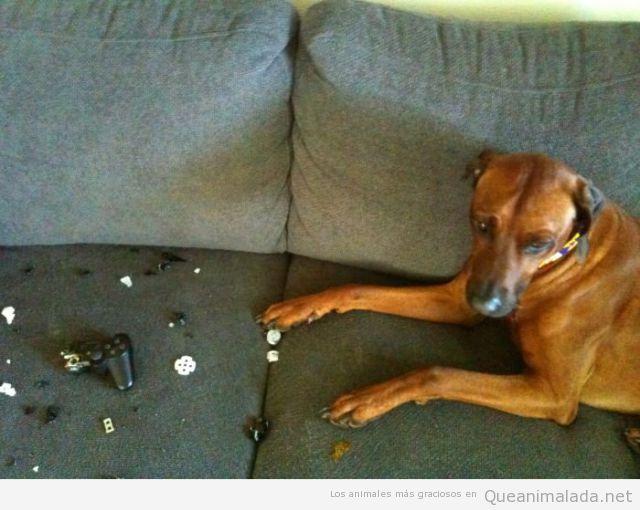 Foto graciosa de un perro que ha roto el mando de la videoconsola