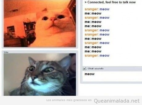 Dos gatos chateando con webcam en chatroulette