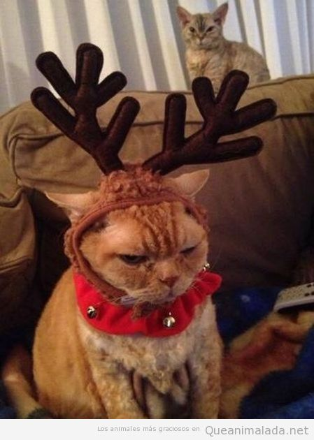 Foto graciosa de un gato disfrazado de reno en Navidad