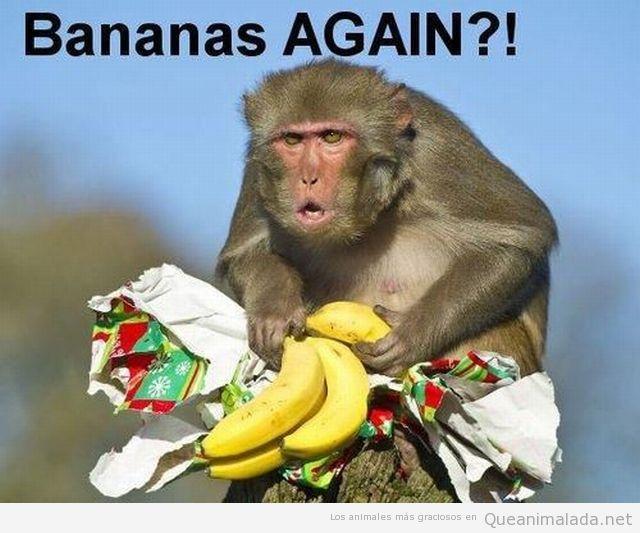 Foto graciosa de mono con regalo de plátanos para Navidad
