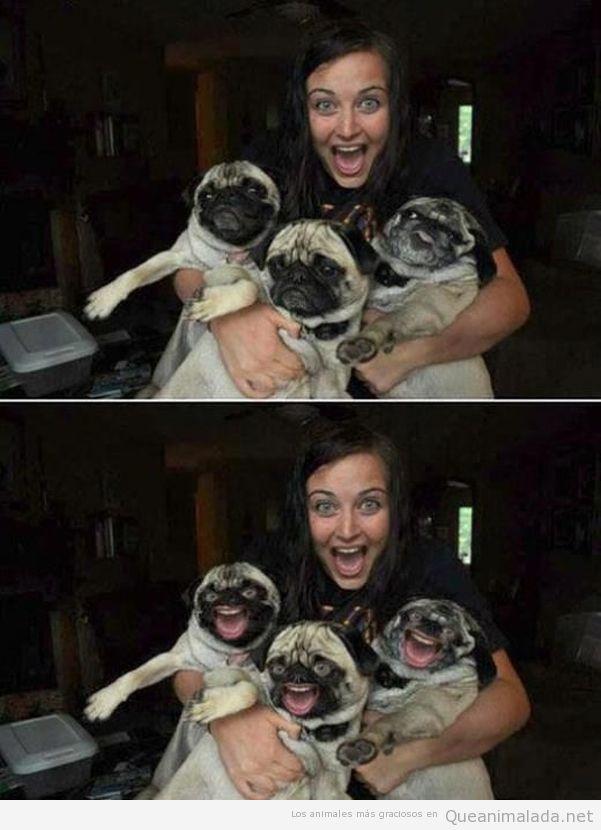 Imagen divertida de tres carlinos o pugs que no sonríen