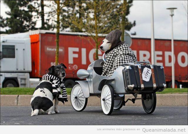 Perros vestidos de forma elegante y en un coche antiguo