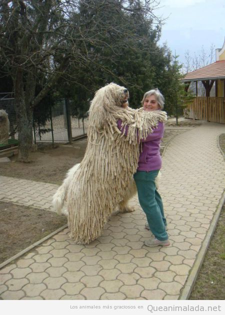 Perro grande y muy peludo, pelaje como lana