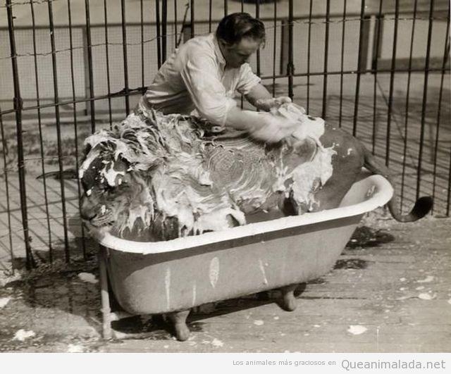 Imagen antigua curiosa de domar de leones bañando a un león en una bañera