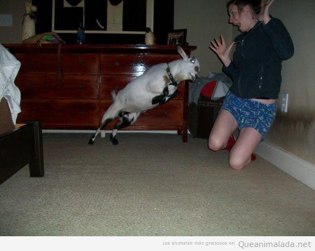 Imagen divertida de una cabra atacando a una persona