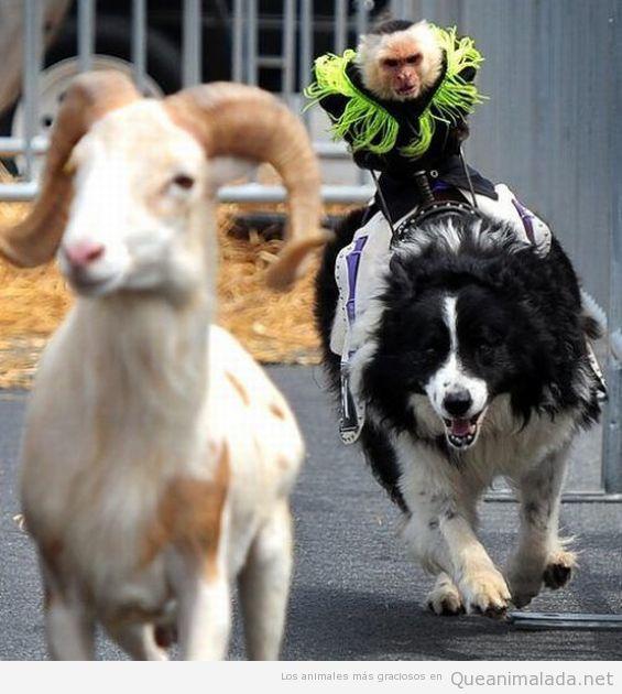 Imagen graciosa de una cabra montesa y un perro con un mono encima