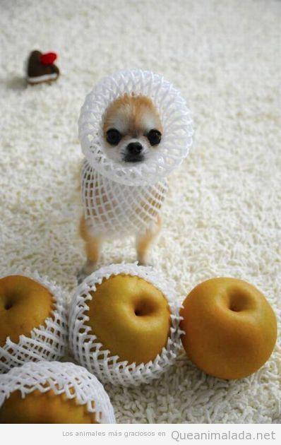 Imagen divertida de cachorro de chihuahua con envoltorio manzana cuello