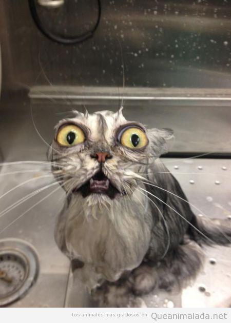 Foto divertida de un gato mojado con cara de horror
