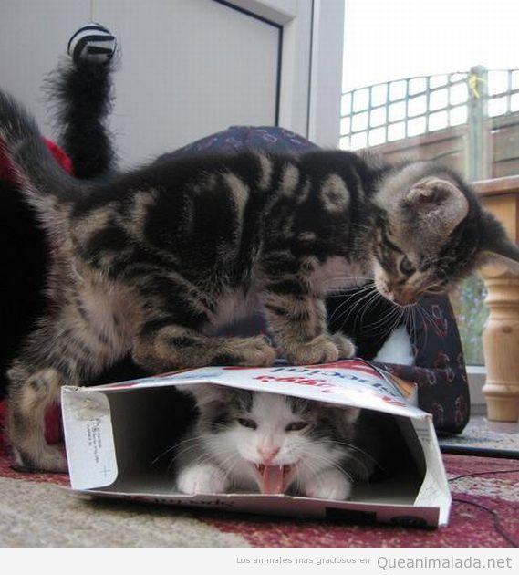 Imagen divertida de dos gatos y una caja de cereales