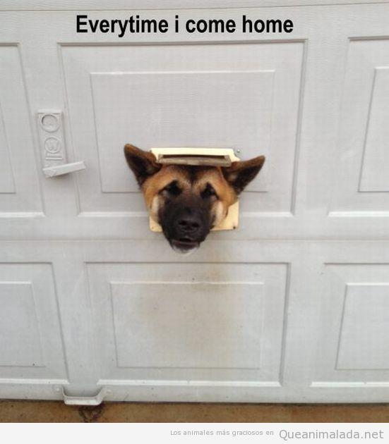 Imagen graciosa de un perro metiendo la cabeza por la ranura del buzón de cartas