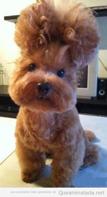 Foto WTF de un perro con un peinado cardado raro