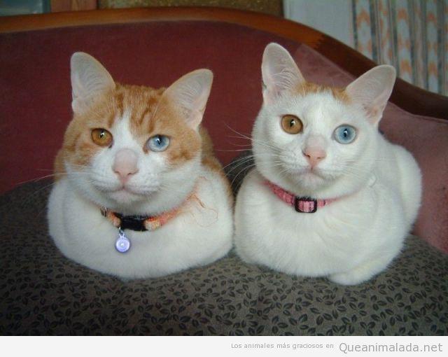 Imagen curiosa de dos gatos con ojos de cada color