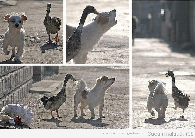 Fotos graciosa de pato y perro amigos