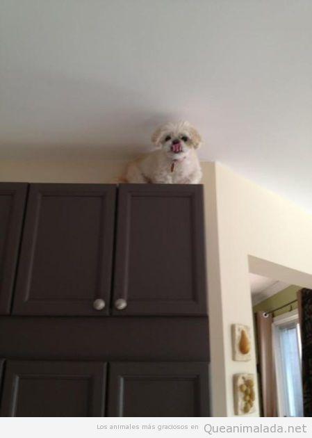 Imagen graciosa perro spiderman subido encima del armario